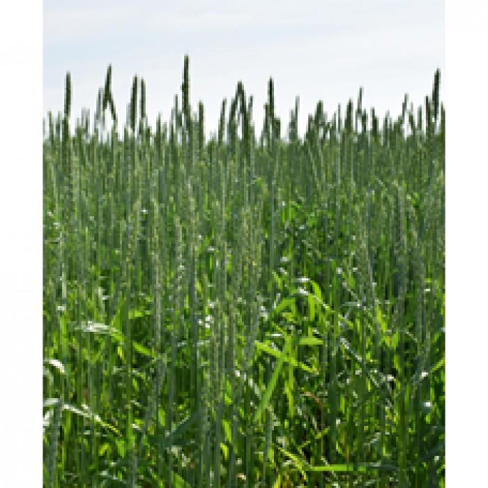 6 августа 2021 года был проведен онлайн – «День поля» «Внедрение новых сортов яровой пшеницы, ярового тритикале и технологий земледелия в производственных условиях ТОО «Северо-Казахстанская сельскохозяйственная опытная станция»